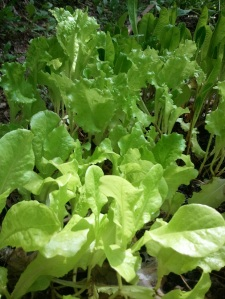 Lettuce from my garden.